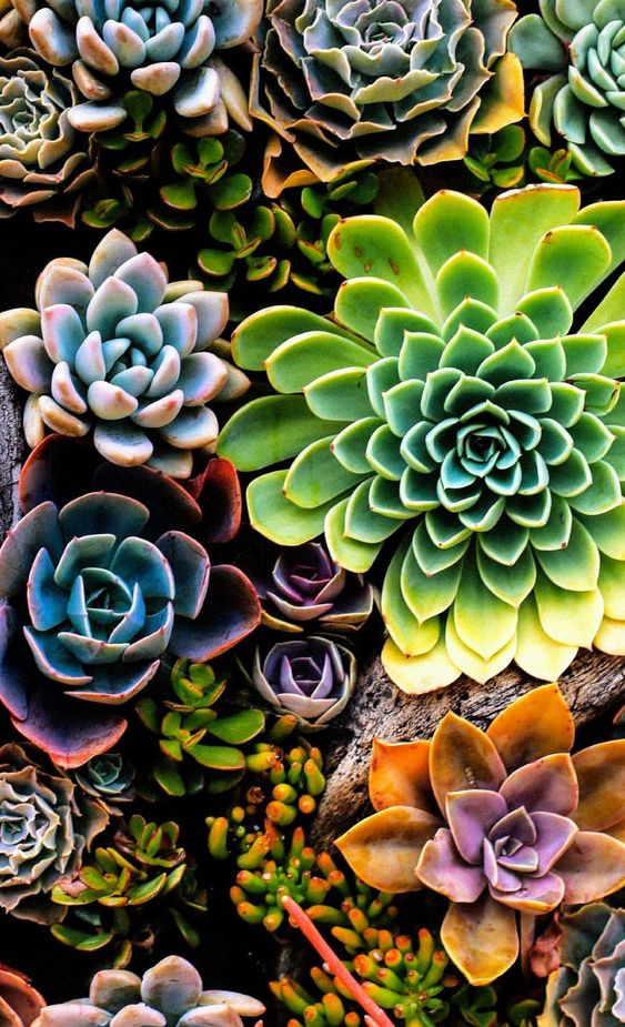 SUCCULENT IS DEFINITELY THE CHOICE OF LAZY PEOPLE TO RAISE FLOWERS